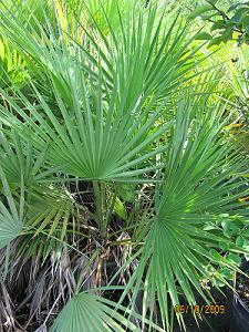 Native Palms Plantsforparadise Com