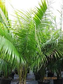 Palm Species Plantsforparadise Com